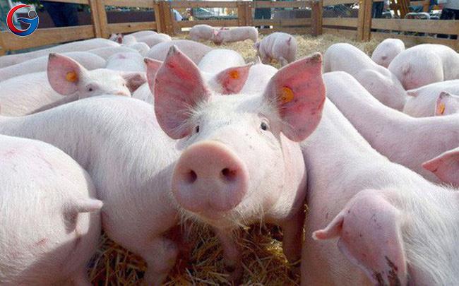 nhập lợn sống về giết mổ